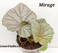 Бегония Mirage детка