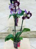 Орхидея 2 ствола