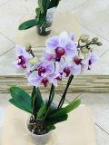 Орхидея 3 ствола