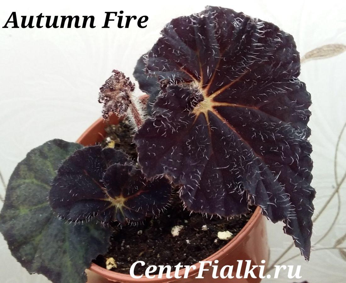 Begonia Autumn Fire