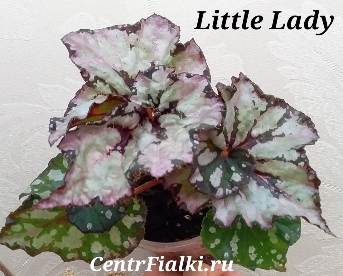 Begonia Little Lady