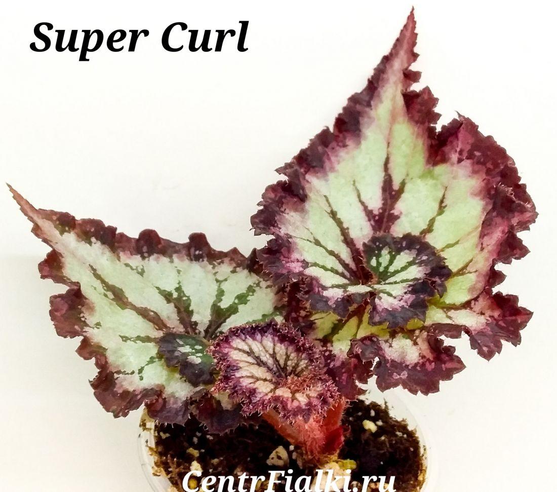 Begonia Super Curl