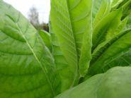Семена табака сорта Символ-4