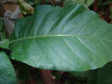 Семена табака сорт Дюбек 2023