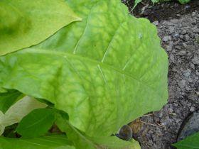 Семена табака сорт Дюбек 602