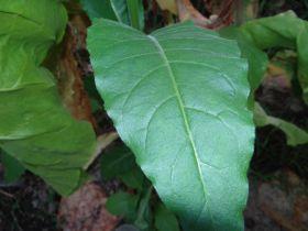 Семена табака сорт Американ 17