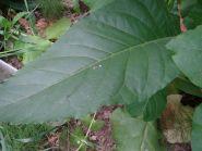 Семена табака сорт Дюбек 50
