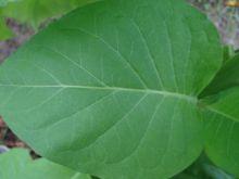 Семена табака сорт Трапезонд Красноцветковый