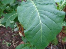 Семена табака сорт Американ 13