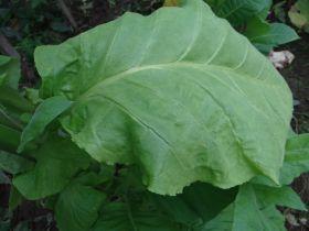 Семена табака сорт Крупнолистный 52