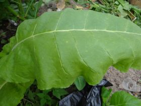 Семена табака Virginia Gold/Y