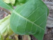 Семена табака Virginia Gold/Z