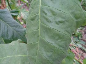 Семена табака сорт Virginia Izyda