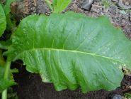 Семена табака сорт Virginia Krakowska 1