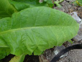 Семена табака сорт Virginia 326