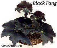 Бегония Black Fang стартёр
