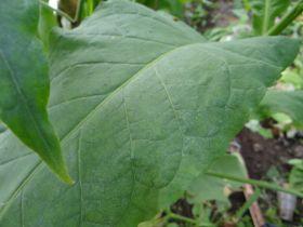 Сигарные. Сорт Cabbage