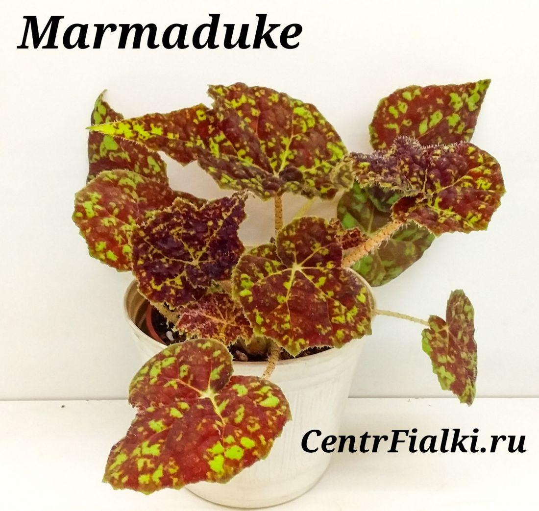 Begonia Marmaduke