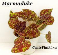 Бегония Marmaduke стартёр