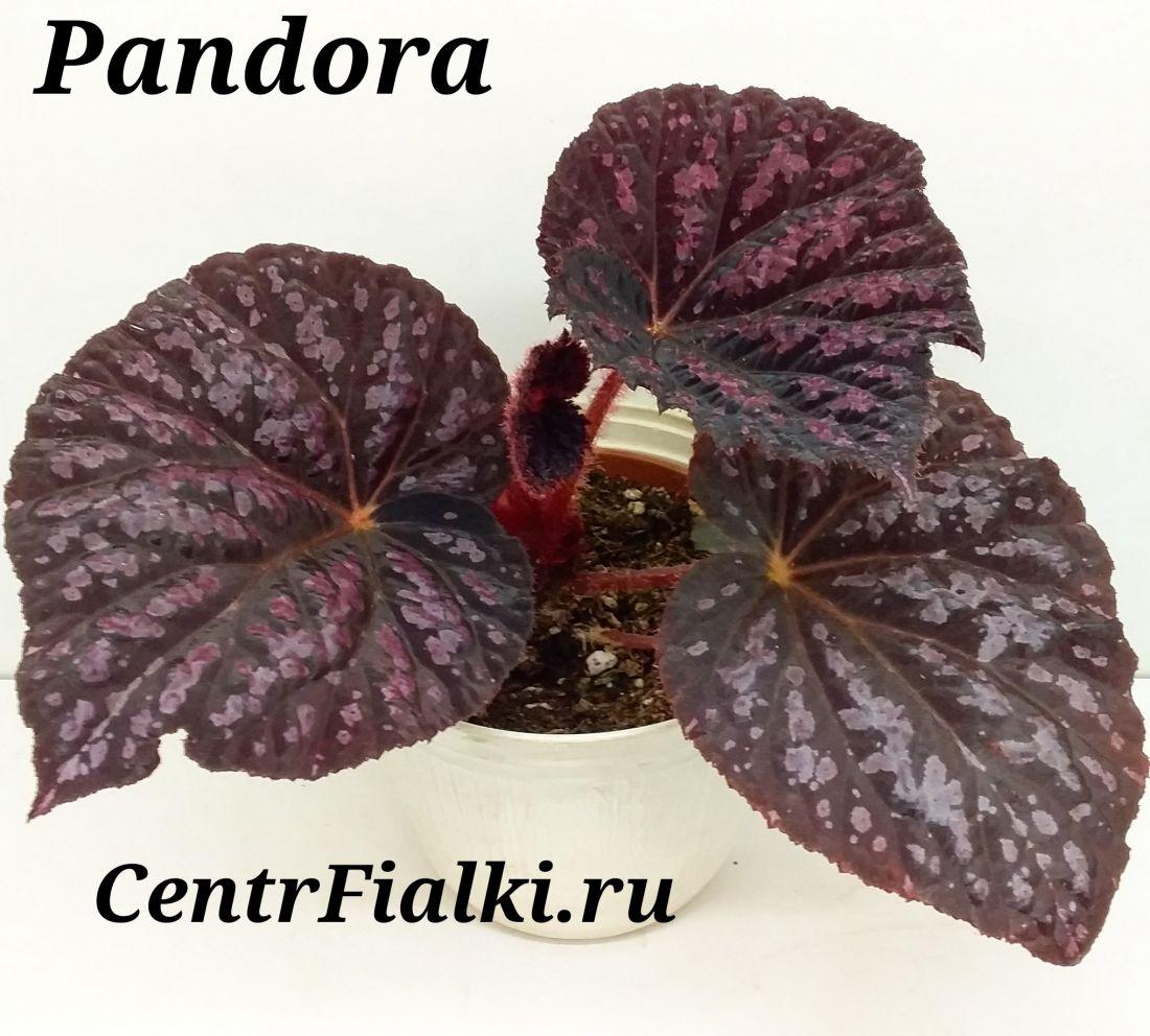 Begonia Pandora