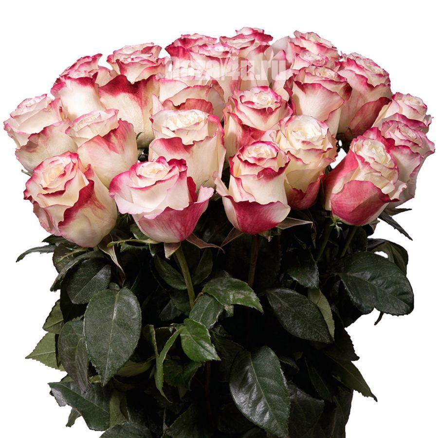 Бело-розовые розы 60 см