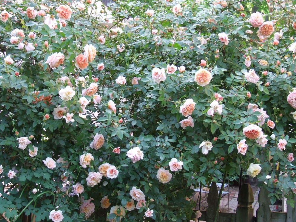 Роза Колетт Rosa Colette
