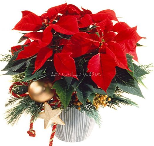 Композиция Рождественская звезда