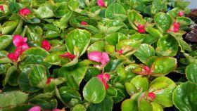 Бегония вечноцветущая (зеленая листва) розовые цветы