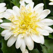 Остеоспермум (капская ромашка) Акила Парпл, 3d лемон айс, Белый с глазком, желтый