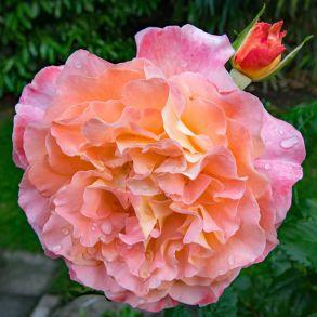 Роза Августа Луиза (чайно-гибридная)