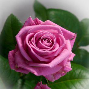 Роза Аква (чайно-гибридная)