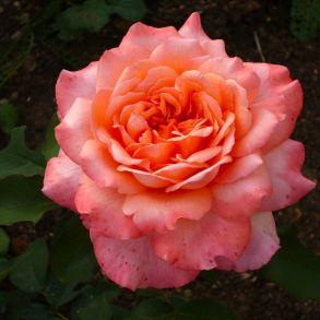 Роза Альбрехт Дюрер (чайно-гибридная)