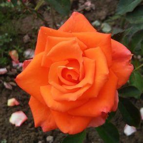 Роза Моника (чайно-гибридная)