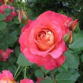 Роза Меян Декор Арлекин (парковая)