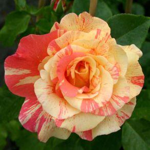 Роза Сорбит Фруит (парковая)