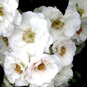 Роза Айс Бриллиант (почвопкровная)
