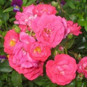 Роза Анадия (почвопкровная)