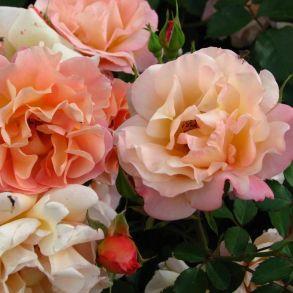 Роза Кубано (почвопкровная)