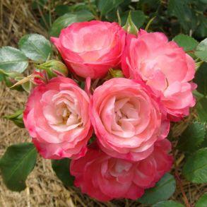 Роза Пад де Велюр (почвопкровная)