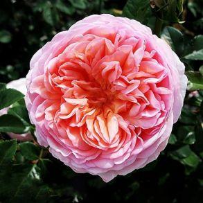 Роза Абрахам Дерби (кустовая)