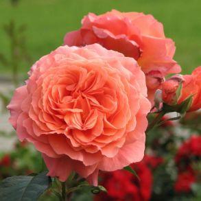 Роза Бельведер (кустовая)