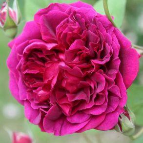 Роза Вильям Шекспир (кустовая)