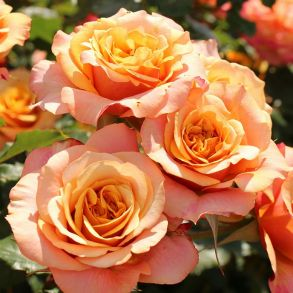 Роза Ля Вилла Котта (кустовая)