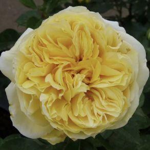 Роза Тулуз Лаутрек (кустовая)