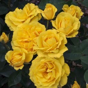Роза Гарт де Орт (клумбовая)