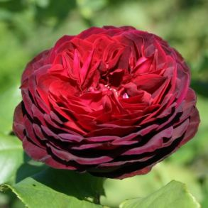 Роза Графин фон Хайдерберг (клумбовая)