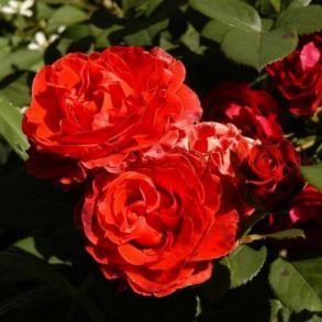 Роза Озо (клумбовая)