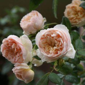 Роза Эвелин (спрей, мини, патио)