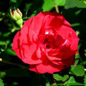 Роза канадская Adelaide Hoodless