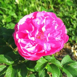 Роза канадская David Thompson